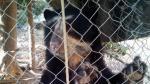 Rescatan  a Oso de Anteojos en Cajamarca - Noticias de vida silvestre