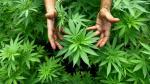 Canadá se prepara para ser el primer país del G7 en legalizar la marihuana - Noticias de campaña de salud
