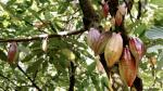 El 50% de hectáreas de cacao en Perú migraron del cultivo de coca - Noticias de jose iturrios