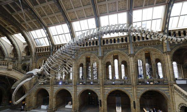 Exhiben esqueleto de una colosal ballena azul de 1891 - Noticias de duquesa catalina