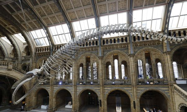 Exhiben esqueleto de una colosal ballena azul de 1891 - Noticias de esqueletos