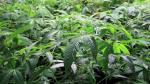 Marihuana en Uruguay: Expectativas y dudas tras el inicio de venta en farmacias - Noticias de venta de marihuana
