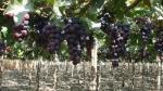 Senasa: República Dominicana abre su mercado a uvas peruanas - Noticias de senasa