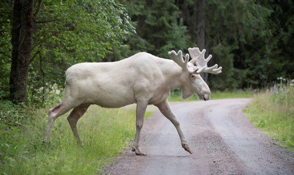 Captan imágenes de un insólito alce blanco en Suecia