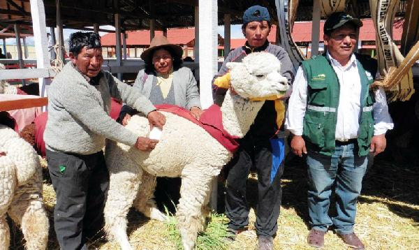 Records Guinness: certifican a lana de alpaca de Puno como la más fina del mundo
