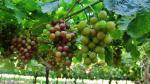 Agroexportaciones del Perú hacia Indonesia crecen 261% en primer semestre - Noticias de ocex