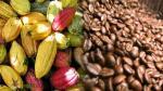 Productores amazónicos se relacionan directamente con la industria cafetalera y chocolatera - Noticias de acopio